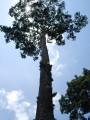 amazing trees of khao yai