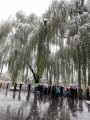 weeping willows of bei hai