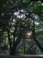 meiji-jingu forest