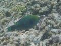 parrot fish eat coral and poop sand