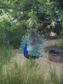 peacock in the aviary
