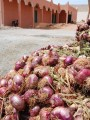 so many red onions in maroc
