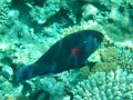 parrotfish!