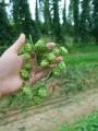 raw hops