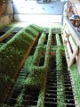drying the hops